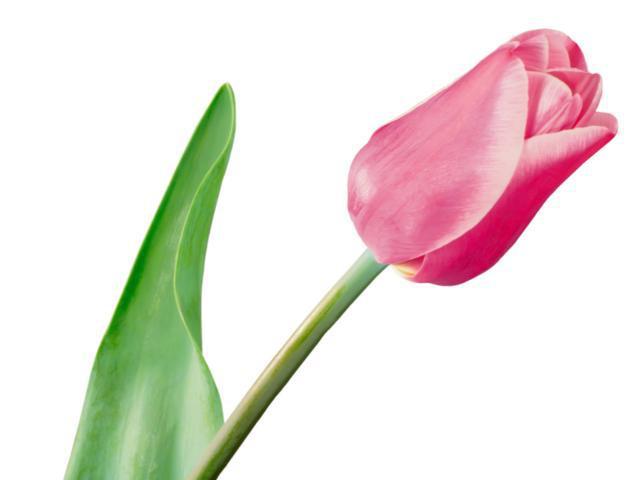 Купить «Тюльпан розовый» в Петропавловске-Камчатском - «Цветочная сказка»